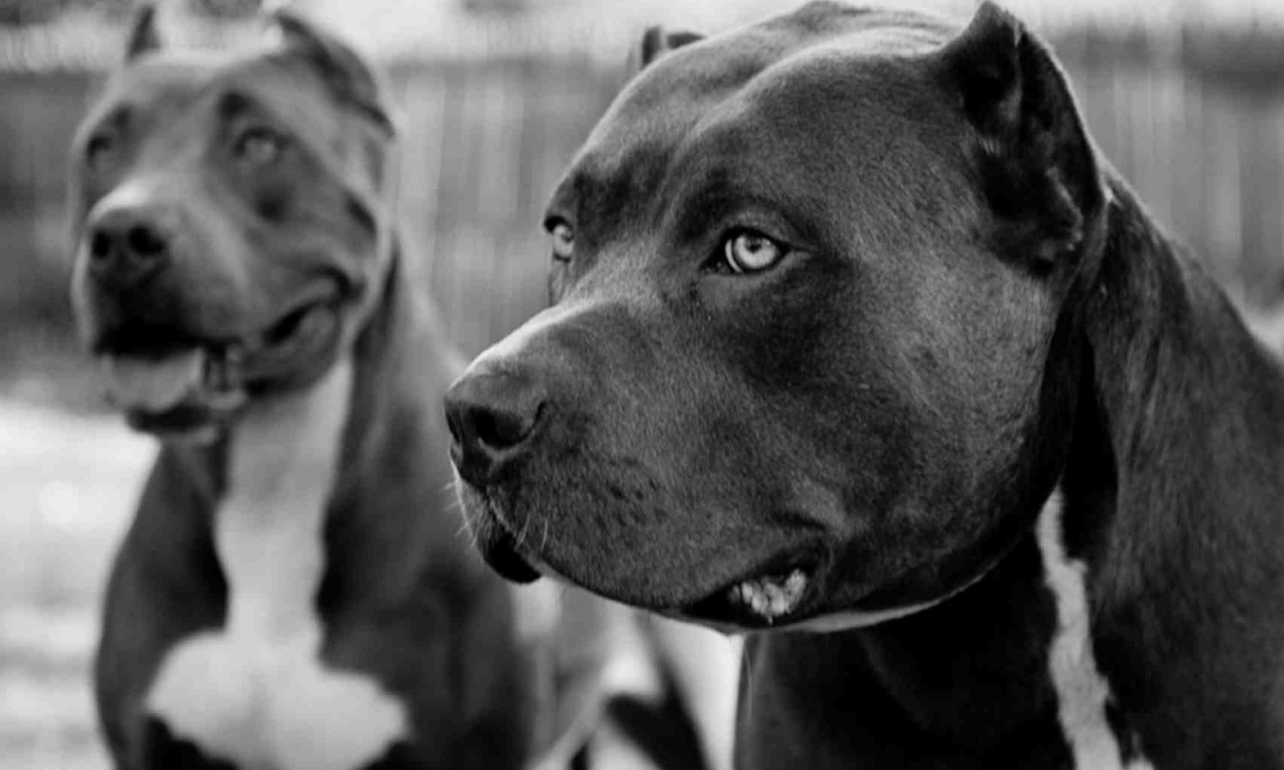 Beautiful adult black pitbulls