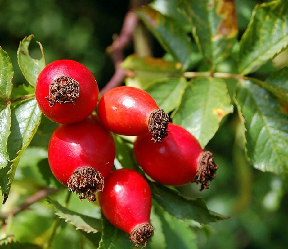 Rosehips are usually ready to be picked up in the Fall
