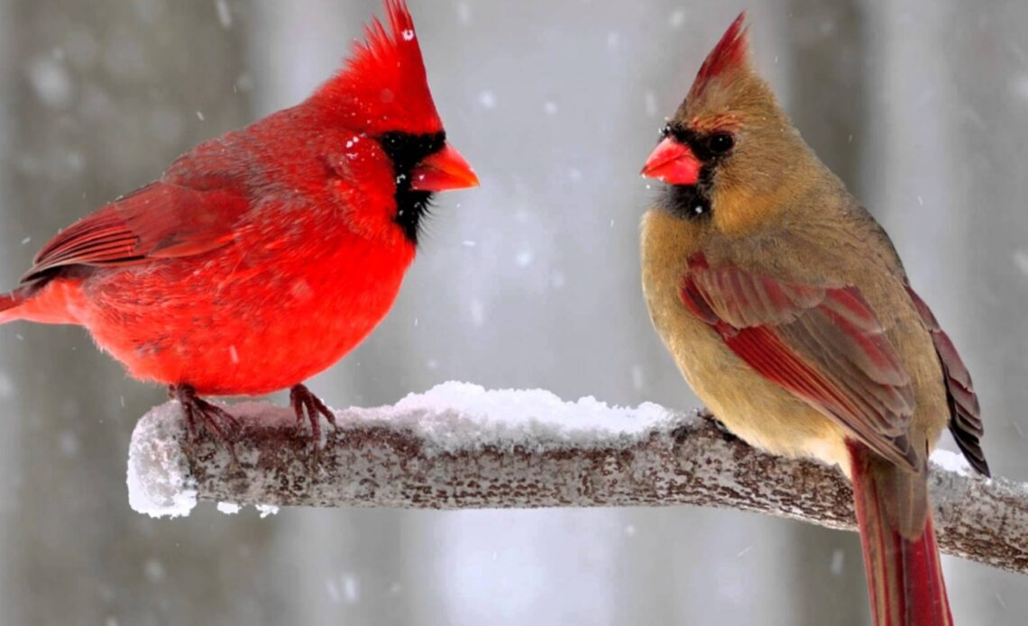 The superstitions and popularity of the Cardinal bird